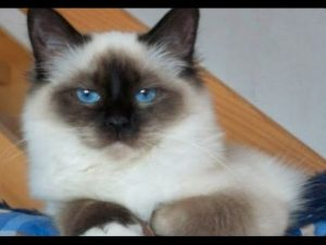 How To Take Care of Birman Cats | How To Care For Birman Cats at Home