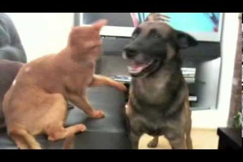 My Abyssinian Cats