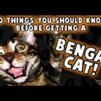 10 Things You Should Know Before Getting a Bengal Cat!