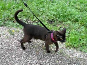 Burmese cat walking and talking