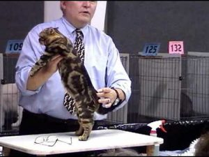 Champion American Shorthair Cat