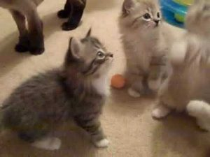 RagaMuffin Kittens Playing