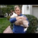 How to Hold a Ragdoll Cat - How to Pick Up a Ragdoll Cat - ねこ - ラグドール - Floppycats