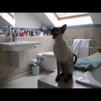 Our Siamese Cats at Shower Time