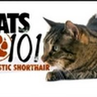 Cats 101- Domestic Shorthair