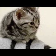 cats-101-american-shorthair ** High Quality**