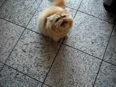 Persian Cats Crying for Food