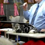 American Shorthair at a Cat Show