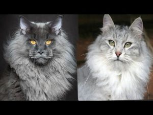 Maine Coon vs Siberian Cat – Difference Explained