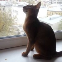 Abyssinian cat talking