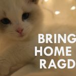 BRINGING HOME OUR RAGDOLL CAT   Vlogmas day 4   Brialeigh