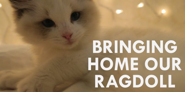 BRINGING HOME OUR RAGDOLL CAT | Vlogmas day 4 | Brialeigh