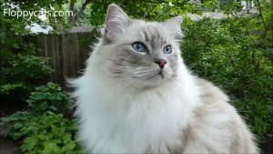 Blue Lynx Mitted Ragdoll Cat Trigg Meowing and Smelling Something Outside - ねこ- Floppycats