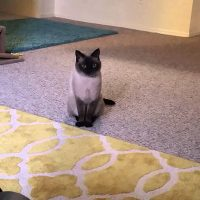 My Siamese Cat Talking to me :)