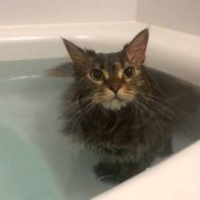 Siberian cat take a bath