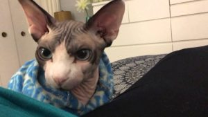 Sphynx Cat - things to know about the breed