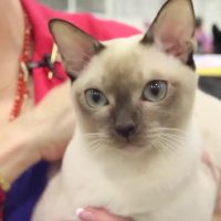 Meet the Tonkinese Cat Breed