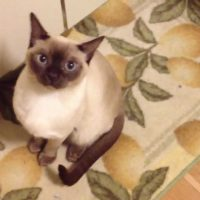My tonkinese cat sounds like an alien