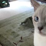 Tonkinese Cats Coming Home Anniversary Day [HD]