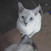 Cat Tricks - Simple Commands - Tonkinese (HD)