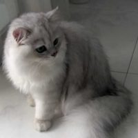 Male Silver-shaded Chinchilla Persian Cat