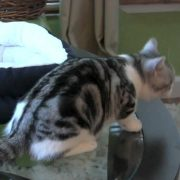 American Shorthairs Day One