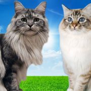 Maine Coon vs Birman Cat FACTS