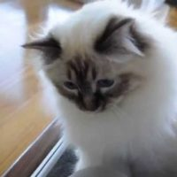 Funny Playing Birman Cat