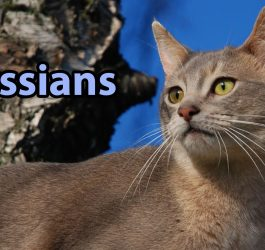 Ideal Companion: Abyssinian