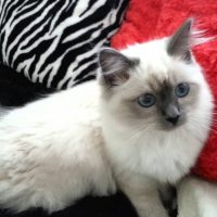 Beautiful blue eye birman kitten (SOPHIE )