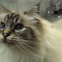 Birman cat Neva is singing a song