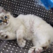 Birman kitten- 4 months old