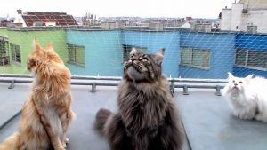Cute Maine Coons chattering at city birds - pretty funny