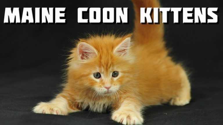 Maine Coon Videos - 10 minutes of Maine Coon Kittens