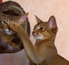 Funny abyssinian cats playing with tube [kotopurrs]
