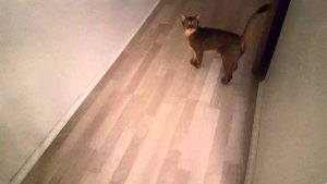 Abyssinian cat is talking