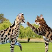 Savannah Cat vs Bengal Cat - Understanding The Differences