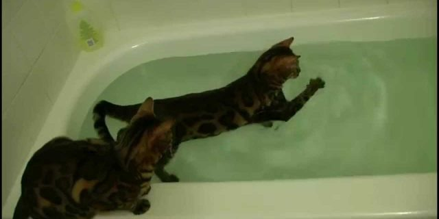Bengal cat and water