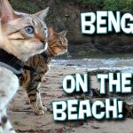Talking Bengal cats on the beach! Rocket & Pixel at the seaside (Full HD)