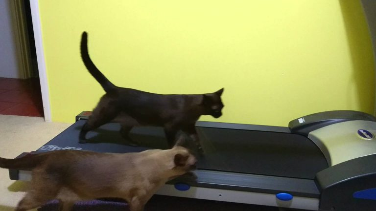 Burmese Cats Treadmilling