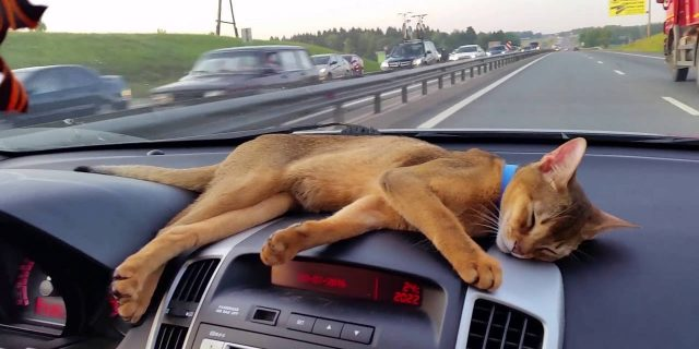 Abyssinian cat traveling by car