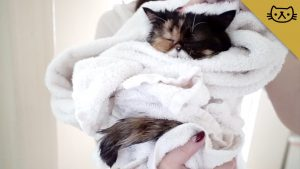 How To Give your Exotic Shorthair Cat a Bath