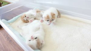 Exotic Shorthair Kittens Waving Hello at 3 Weeks Old