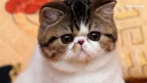 ^ⱷᴥⱷ^ Exotic Shorthair Cat Personality and Breed Traits