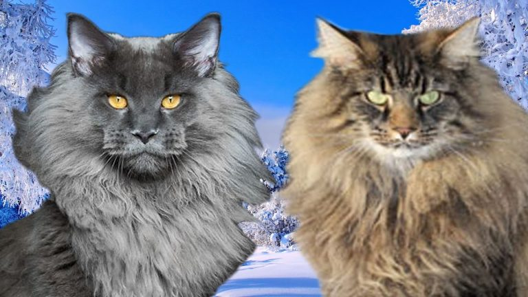 Maine Coon vs Norwegian Forest Cat - What Are the Differences?