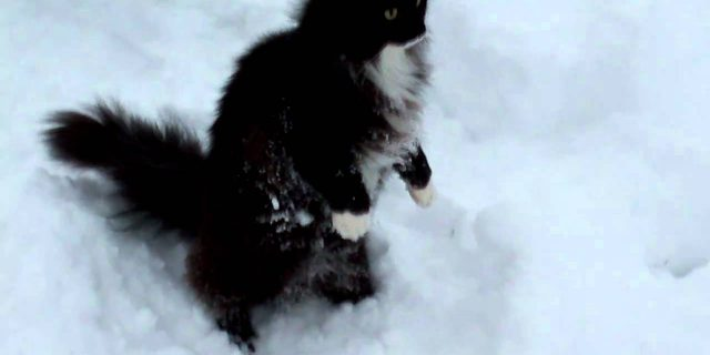 Neftys-Norwegian forest cat in the snow