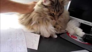 Guga - My Norwegian Forest Cat!!