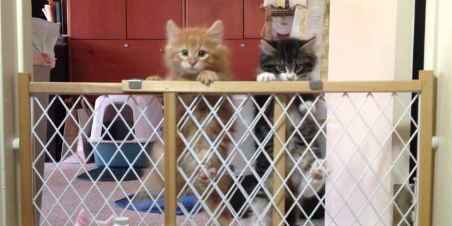 """Norwegian Forest Cat Kittens making the """"Great Escape"""""""