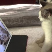 OMG Too cute! Ragamuffin cat watching her own video