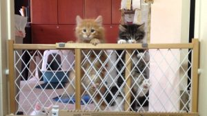 "Norwegian Forest Cat Kittens making the ""Great Escape"""